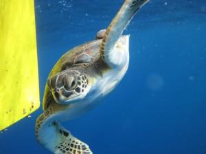 Sympatyczny i fotogeniczny żółw towarzyszył mi przez godzinę. Na skorupie o średnicy 600 mm wiózł kilku pasażerów na gapę (ryby podnawki)
